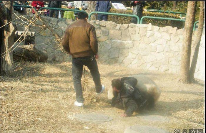 агрессивная панда нападает на человека