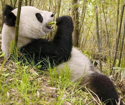 большая панда в бамбуковом лесу