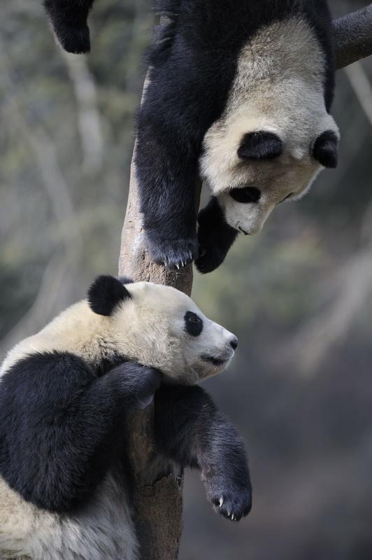 большая панда умеет лазать по деревьям