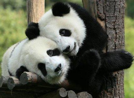 нежные панды