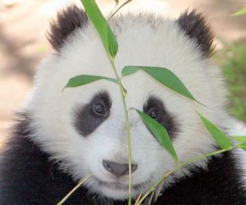 бамбук — основа рациона большой панды