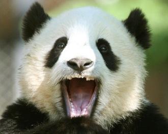 детеныш большой панды зевает